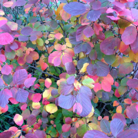 19 01 Fothergilla_Legend_of_the_Fall_1_1080_1080_60