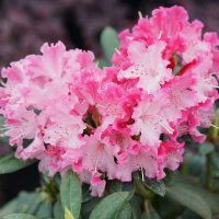 19 01 Rhododendron_Dandy_Man_Color_Wheel_1_1080_1080_60