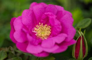 19 0210 bailey lottys love rose
