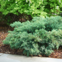 19 01 Juniperus_Montana_Moss_1_1080_1080_60