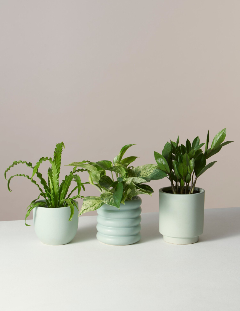 18 1202the-sill_monthly-plant-subscription-box_beginners_birds-nest-fern-pothos-marble-zz-plant_mint_1500x.progressive