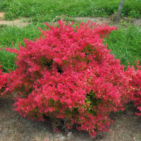 20 0112 Spg Mead sunjoy-neo-barberry-berberis-3_1080_1080_60