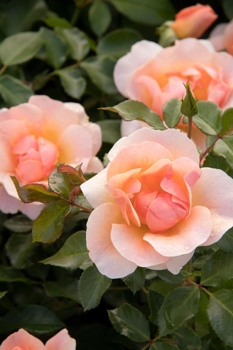 20 0712 Nitty Gritty Rose Peach MON