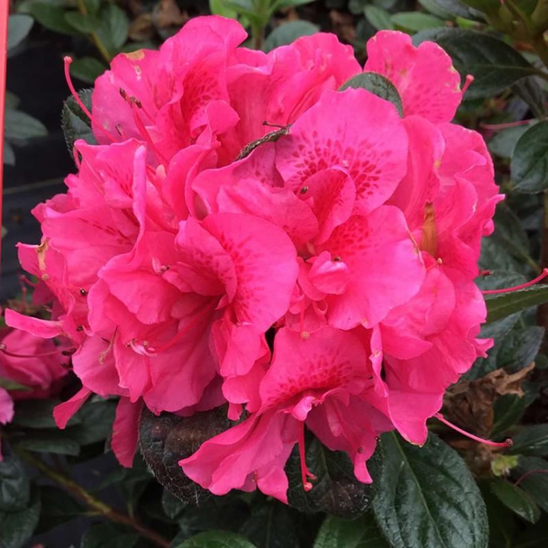 21 0111 Sp Mead azalea-perfecto-mundo-double-dark-pink-1_1080_1080_60