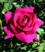 21 0222 AGRS 21 rose-brindabella-purple-prince-001_orig