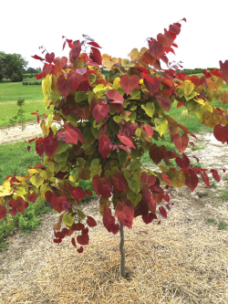 21 1016 Cercis Flame Thrower2